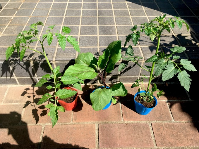 夏野菜の苗 プチトマト ナス