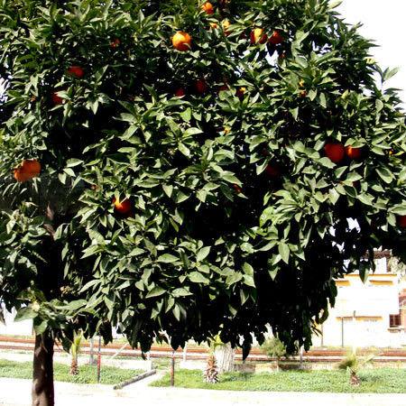 $ヒビノタネ-2013.4.29 トルコのオレンジ