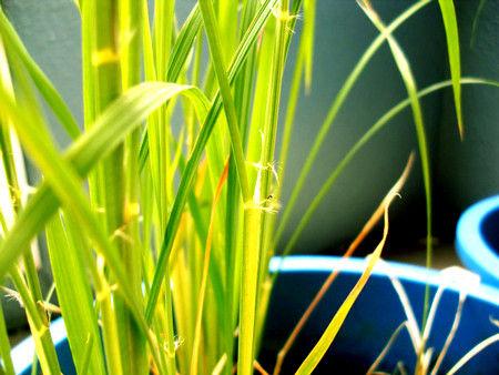 稲 3ヶ月