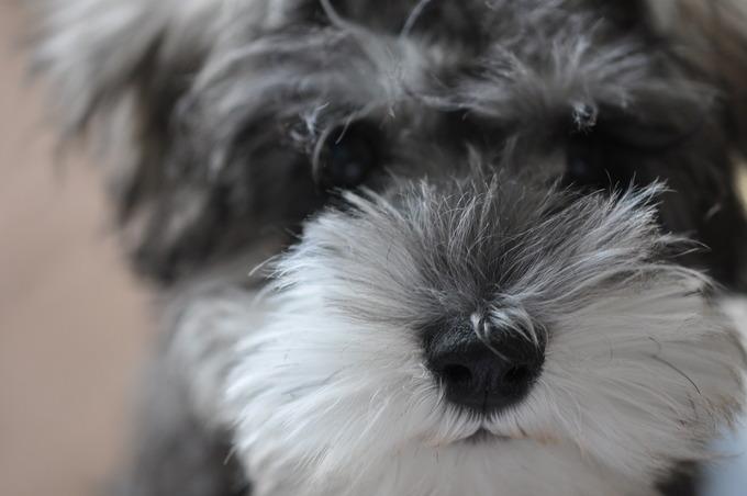 ミニチュアシュナウザー 子犬