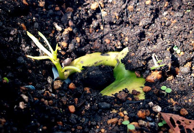 キーツマンゴーの発芽