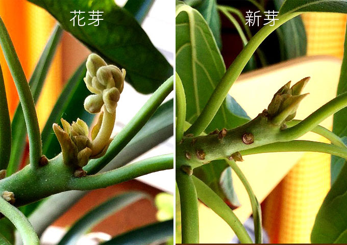 アボカドの芽の比較