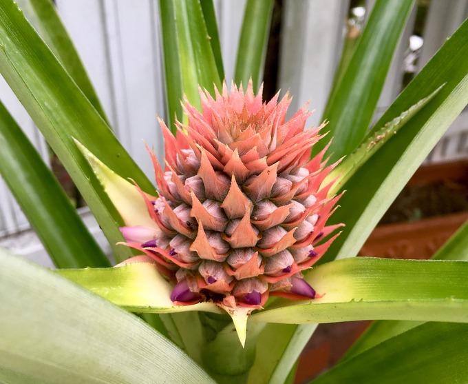 パイナップルの花 蕾