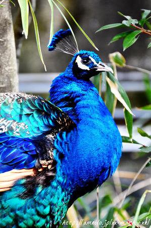 $ヒビノタネ-2012.2.2 peacock