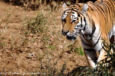 ヒビノタネ-2012.2.2 tiger