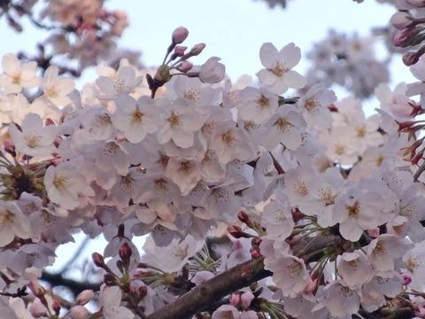 ss2015_0330_0645_DSC02779吉祥寺井の頭公園