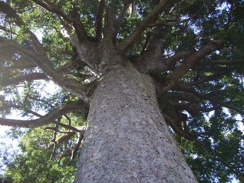 【NZ】巨木