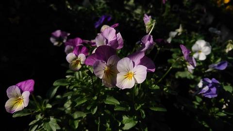 ビオラ紫---