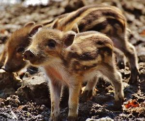 wild-pigs-1332243_640-577x480