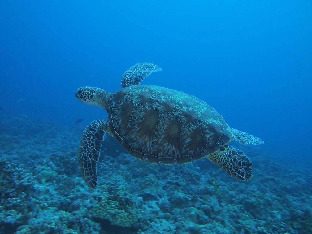 ウミガメの画像 p1_28