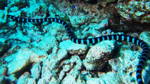ヒロオウミヘビ1