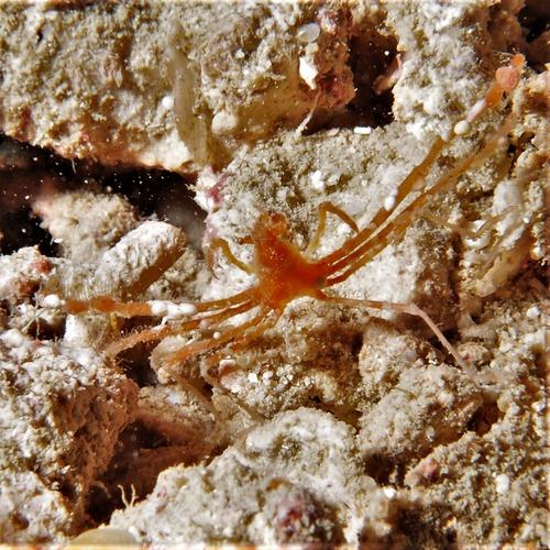 クモガニ属sp1