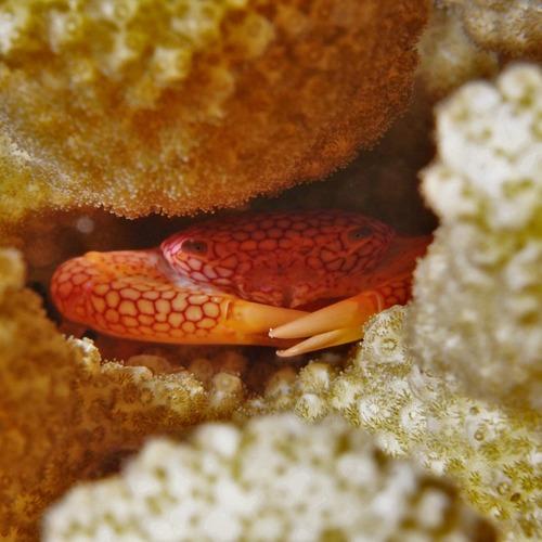 アミメサンゴガニ1a