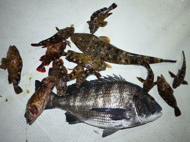 クロダイ マゴチ カサゴ 釣果写真