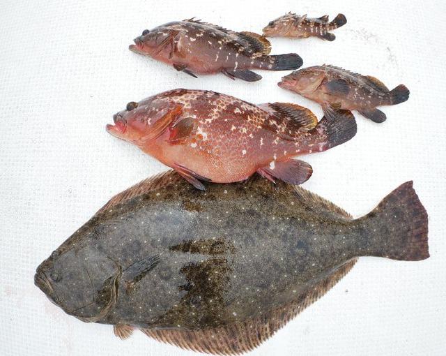 ヒラメ キジハタ 釣果写真