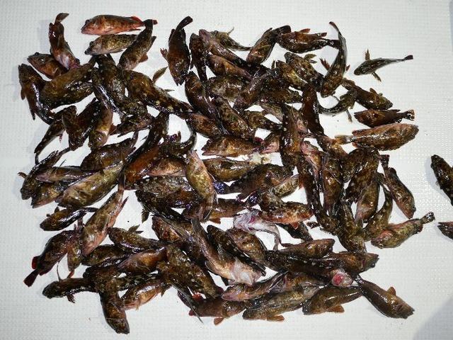 カサゴ 釣果