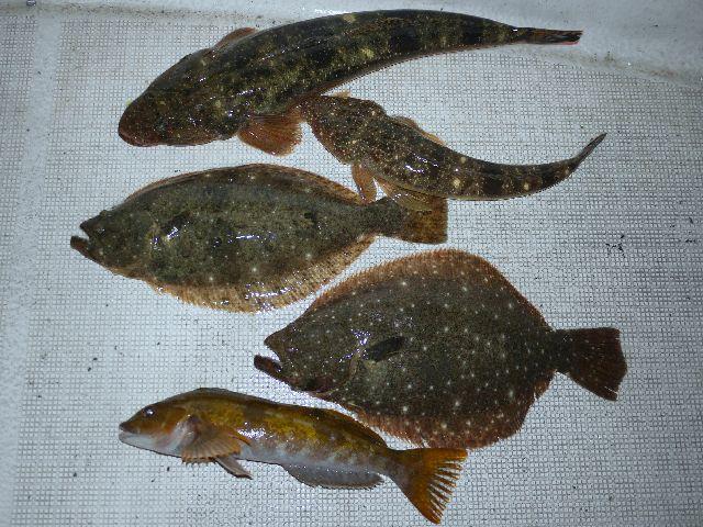 ヒラメ&マゴチ&アイナメ 釣果写真
