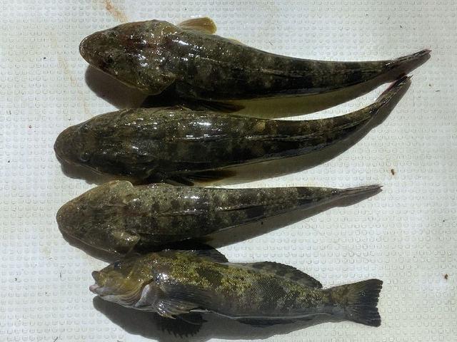 マゴチ アイナメ 釣果写真