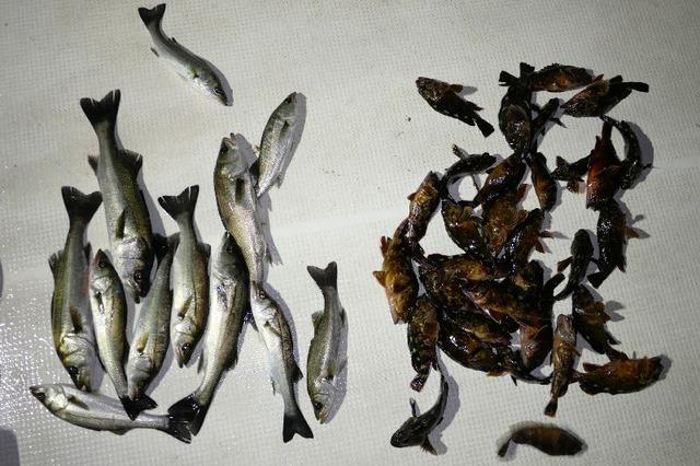 シーバス 根魚 釣果写真