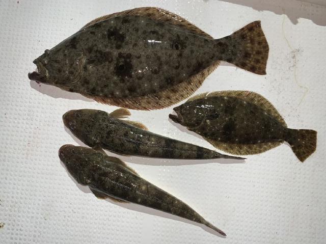 ヒラメ マゴチ 釣果