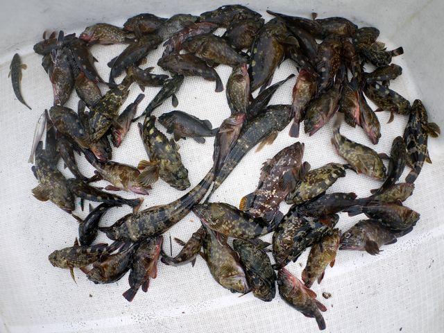 根魚 マゴチ 釣果写真