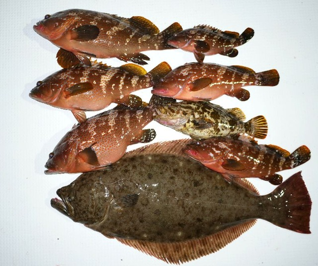 キジハタ ヒラメ タケノコメバル 釣果