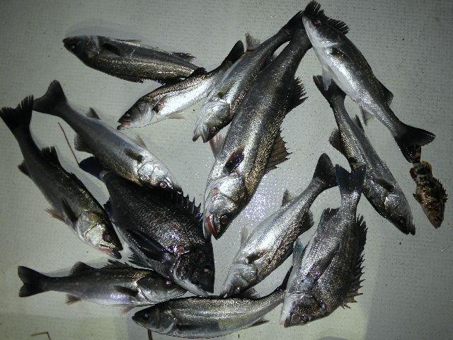 クロダイ シーバス 釣果写真