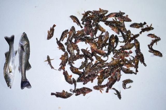 シーバス 根魚 釣果