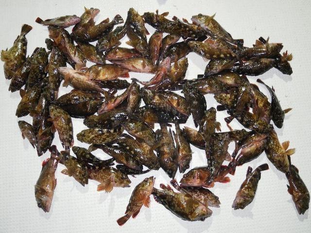 カサゴ 釣果写真