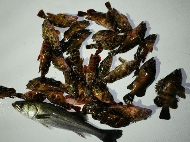 シーバス 根魚 メバル 釣果