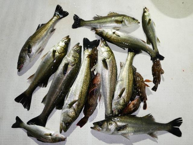 根魚 シーバス 釣果写真