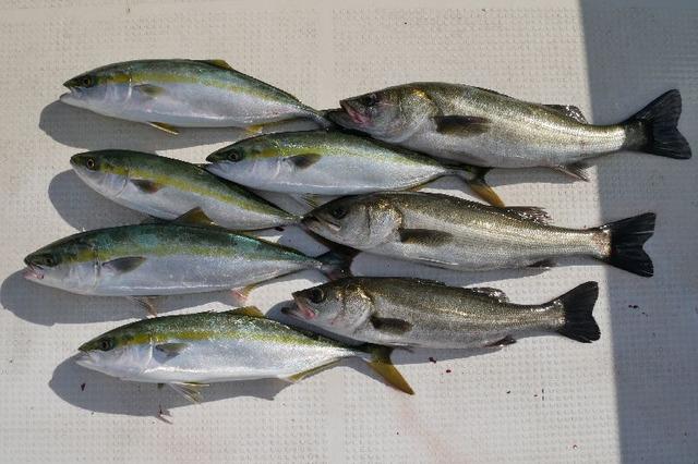 ハマチ シーバス 釣果写真