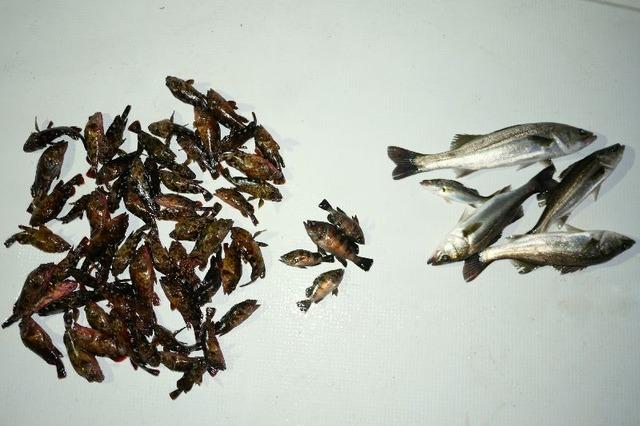 シーバス カサゴ メバル 釣果