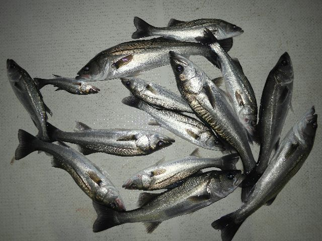 シーバス 釣果