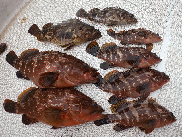 キジハタ タケノコメバル 釣果写真