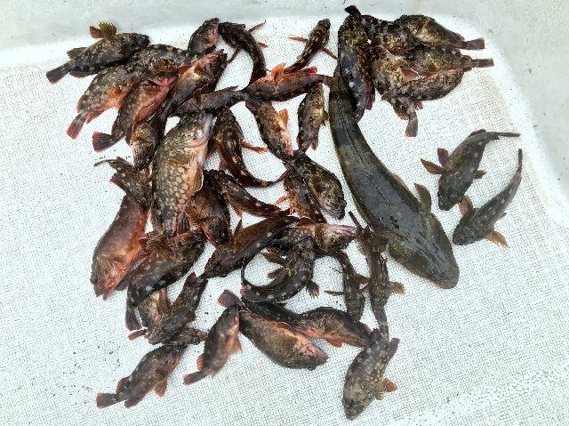 カサゴ マゴチ 釣果写真