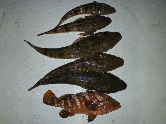 キジハタ&マゴチ 釣果写真