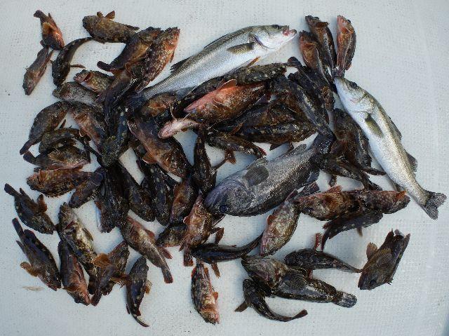 根魚 クロソイ シーバス 釣果写真
