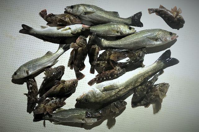 シーバス カサゴ 釣果写真
