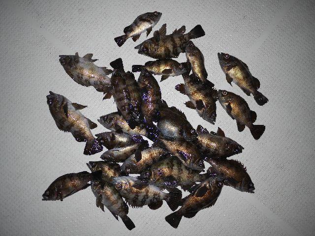 メバル 釣果写真