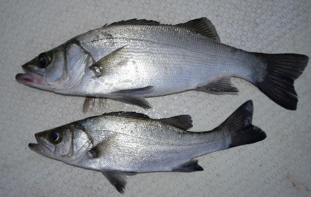 ヒラセイゴ 釣果写真