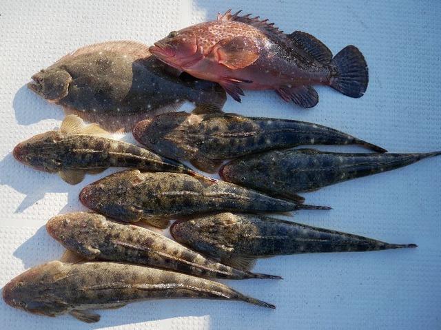 キジハタ マゴチ ヒラメ 釣果写真