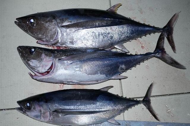 トンボマグロ 釣果