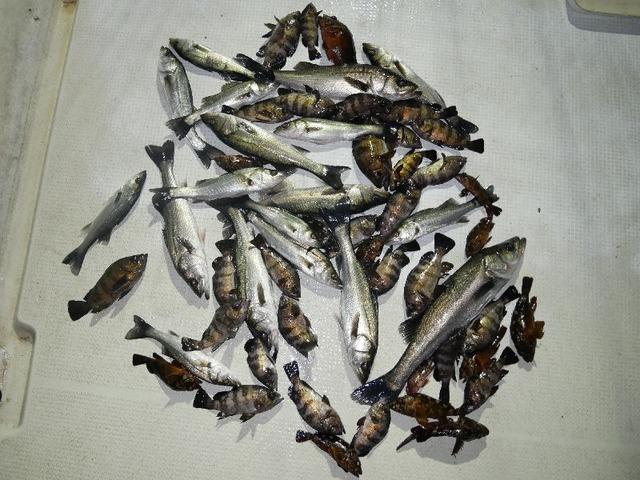 シーバス メバル カサゴ 釣果写真