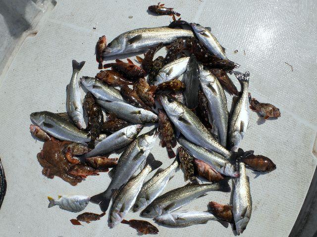 シーバス&根魚 釣果写真