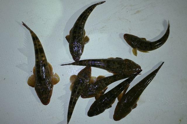 マゴチ 釣果