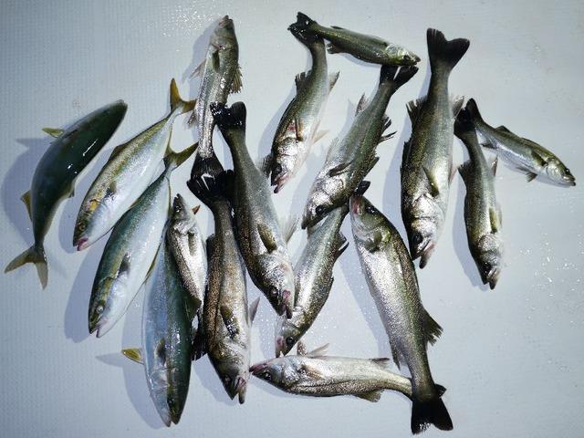 ハマチ シーバス 釣果