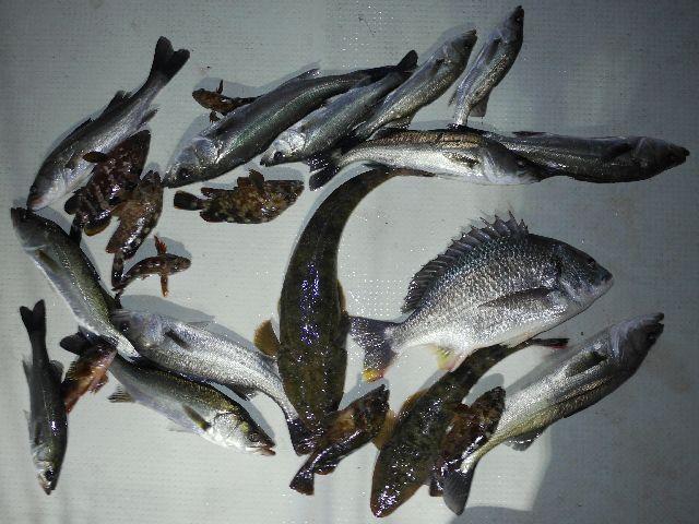 マゴチ 根魚 シーバス キビレ 釣果写真