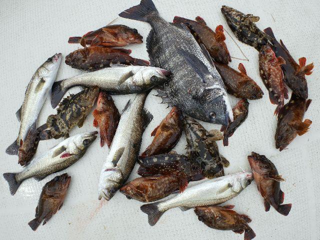 根魚 クロダイ シーバス 釣果写真