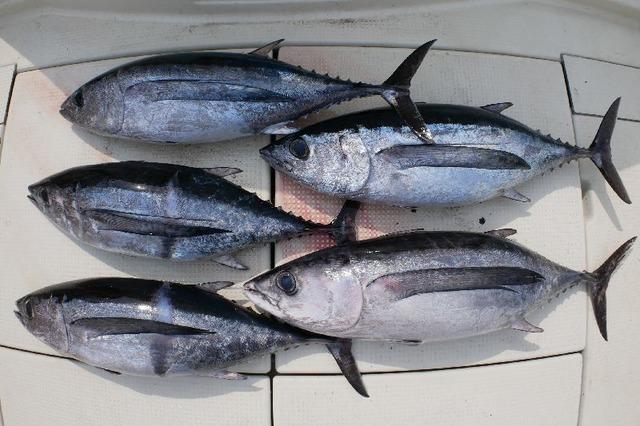 ビンチョウマグロ 釣果写真